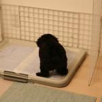 子犬のトイレ