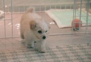 小犬のトイレのしつけ写真